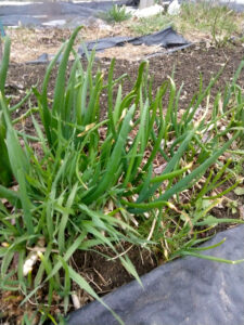 Egyptian onions in April