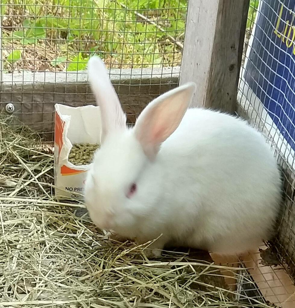 Young male rabbit