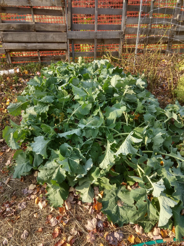 Patch of kale